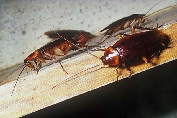 como eliminar cucarachas