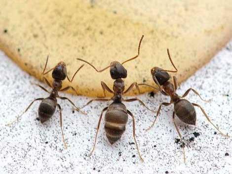 Remedios caseros para las hormigas geindepo - Remedios caseros para eliminar hormigas en casa ...