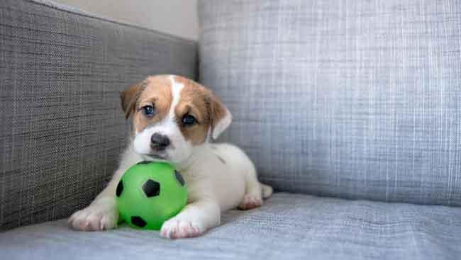 Pero pequeño jugando y ensuciando un sofá