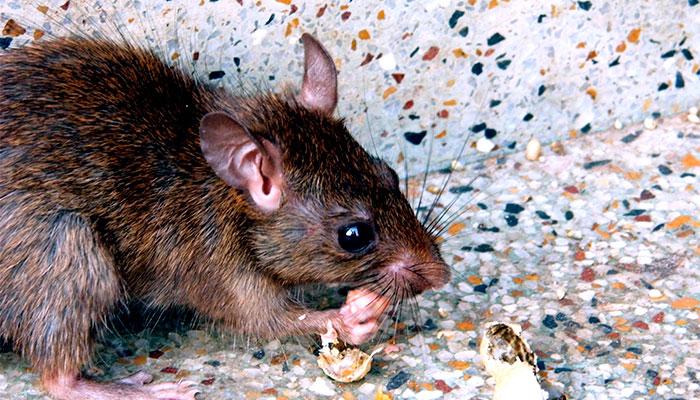Cómo saber si hay ratas